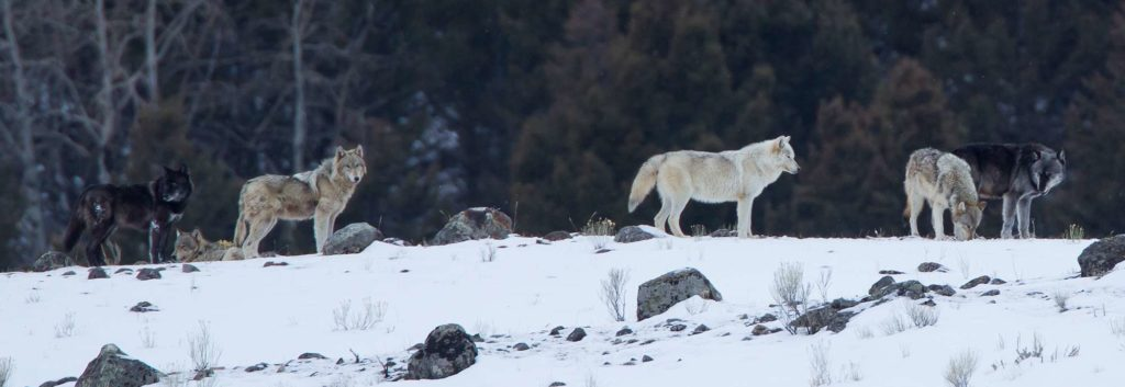 Wolf pack during winter season