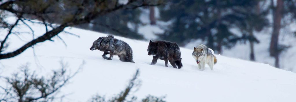 Three wolves climbing snowy hill