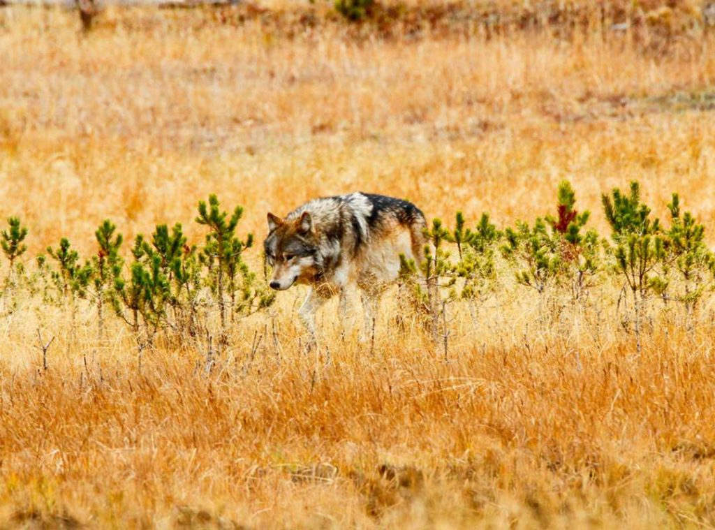 Grey wolf hunting in the plains