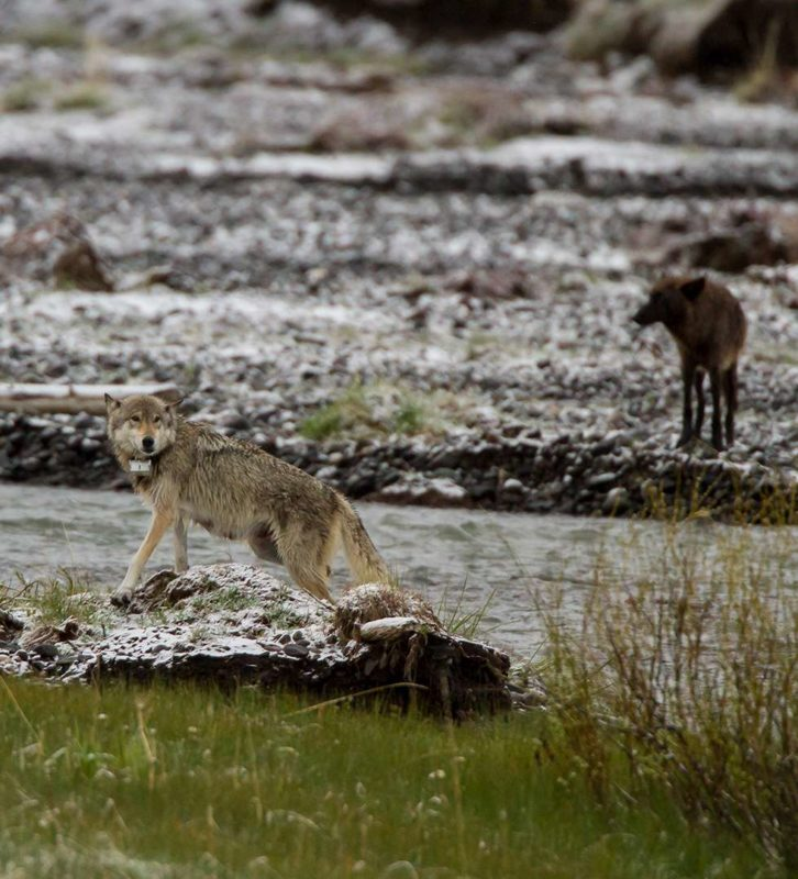 Two wolves near river